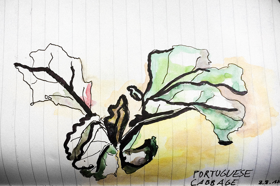 illustration portuguese cabbage