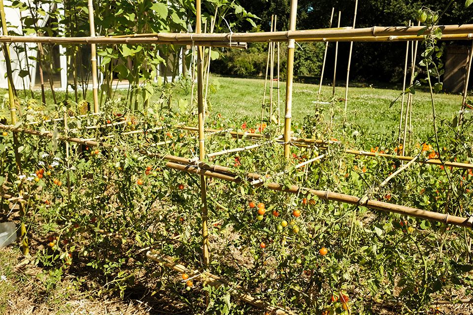tomatoes garden construction