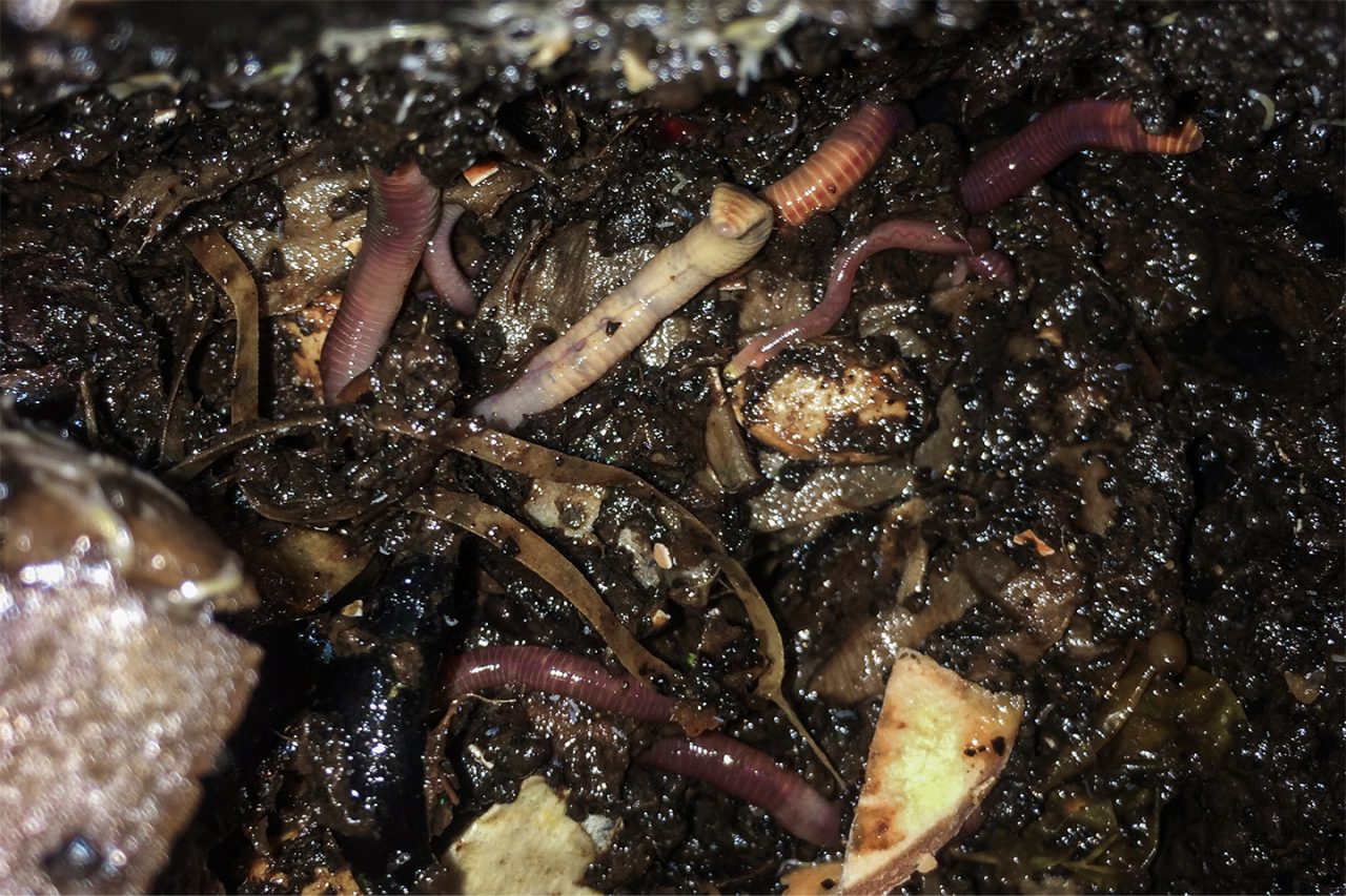 vermicompost worms